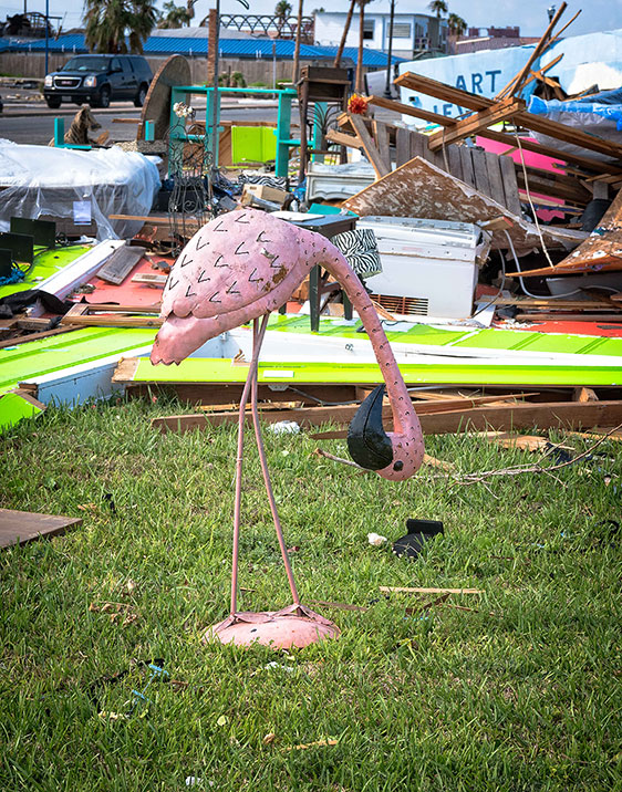 Flamingo on lawn after hurricane